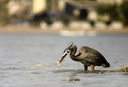 Great Blue Heron catch