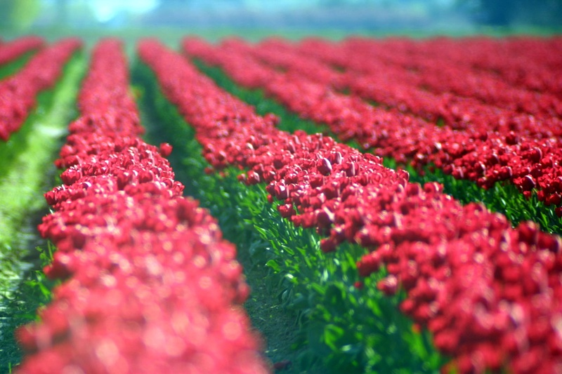waves_red_tulips.jpg