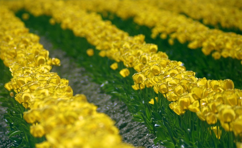 waves_yellow_tulips.jpg