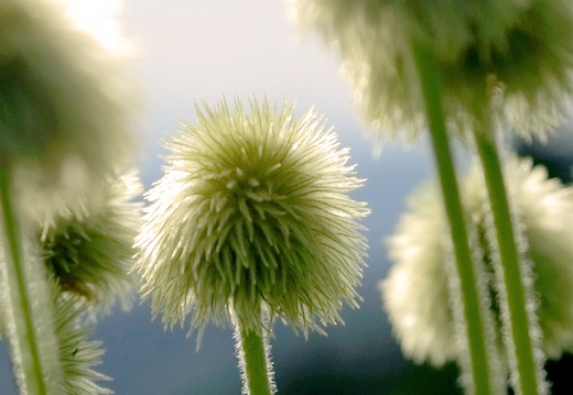 white pasqueflower
